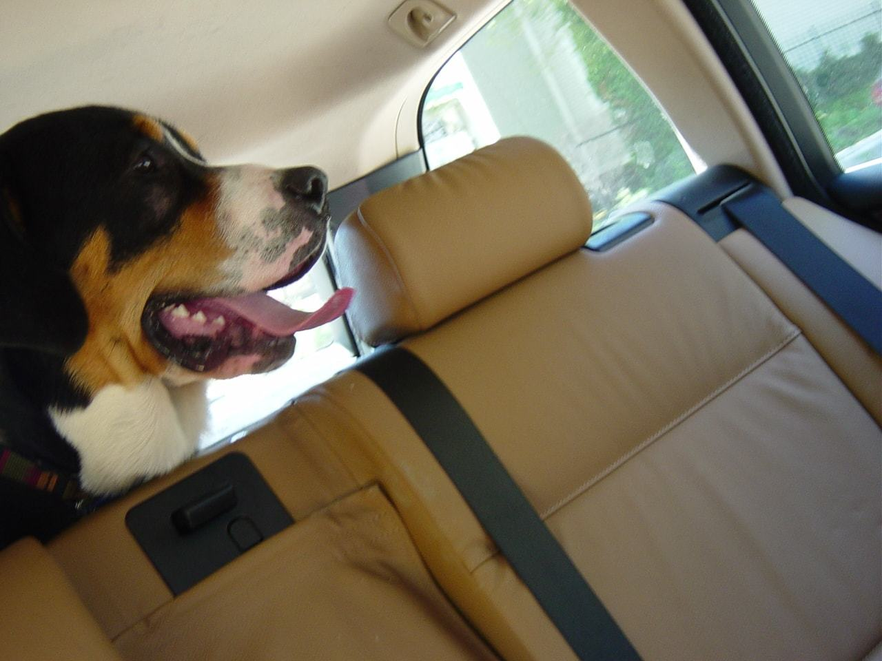 big dog sobering on back seat of car