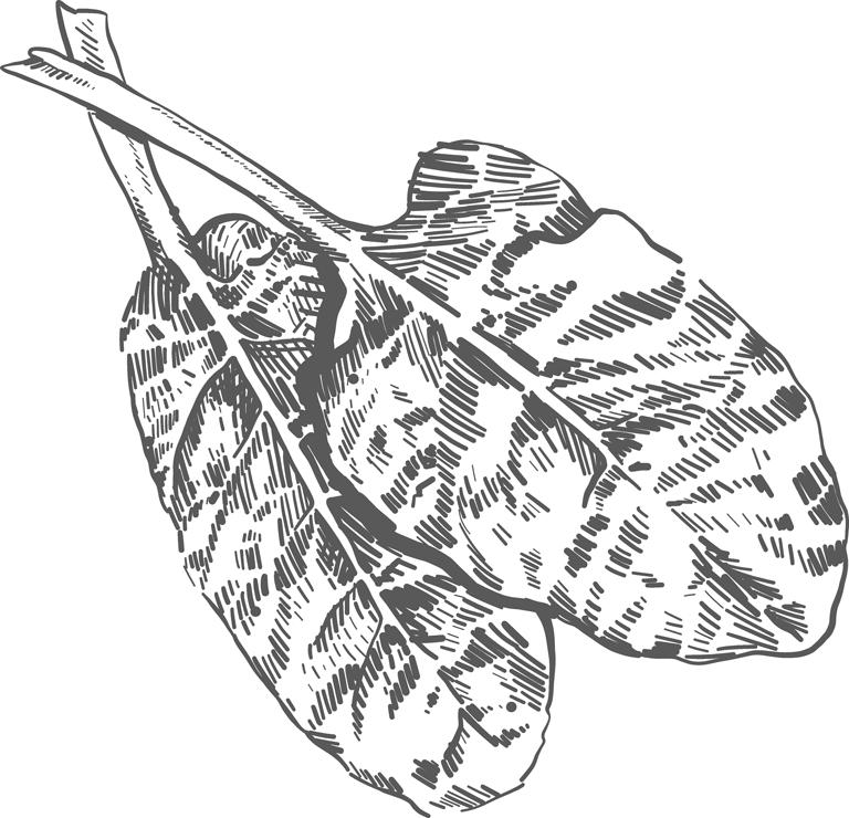 lettuce illustration
