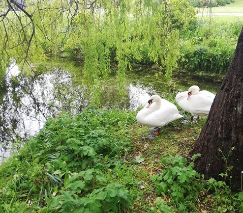 The new swan pair, resting on the moat island.