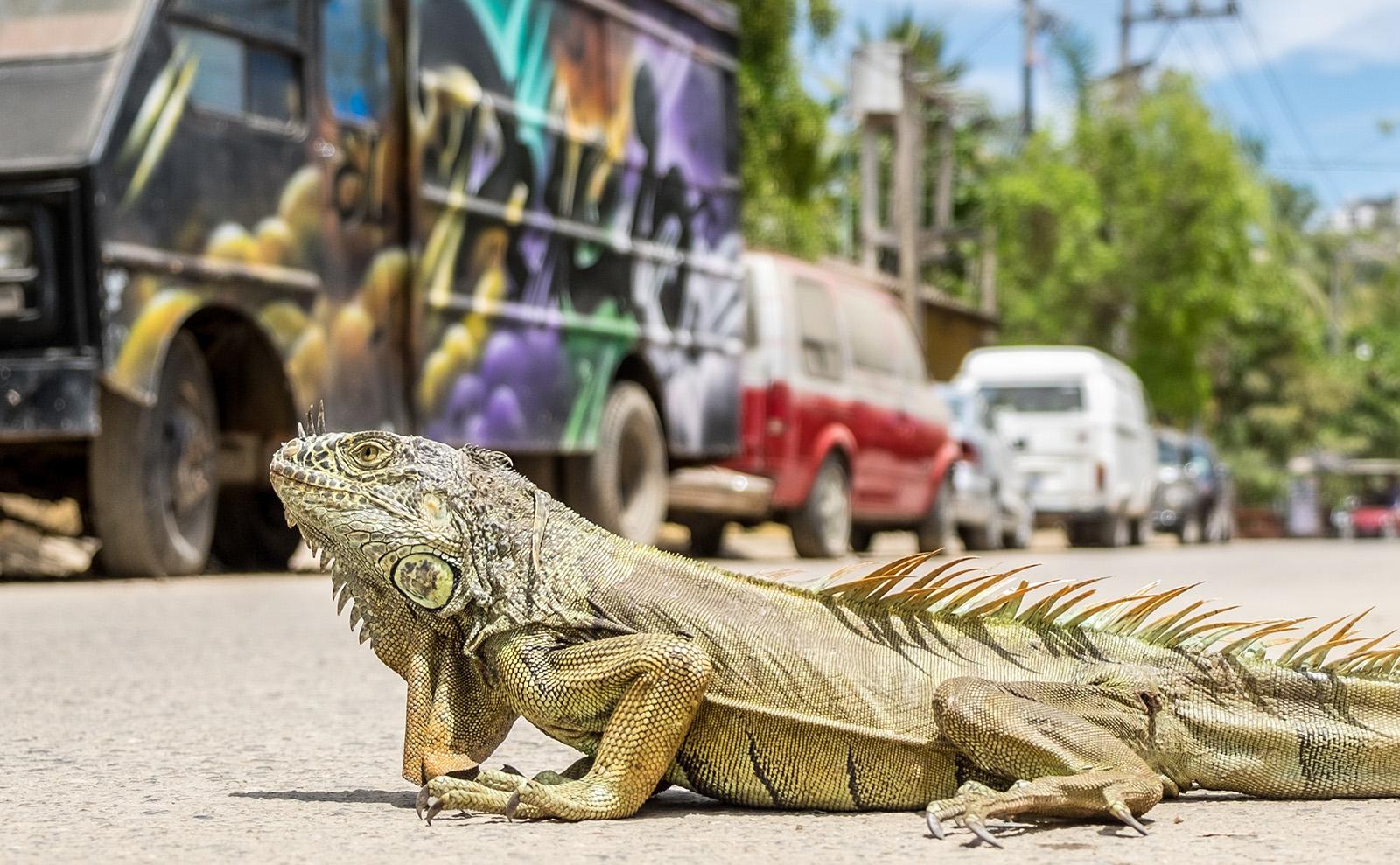 iguana on asphalt in Sayulita, Mexico