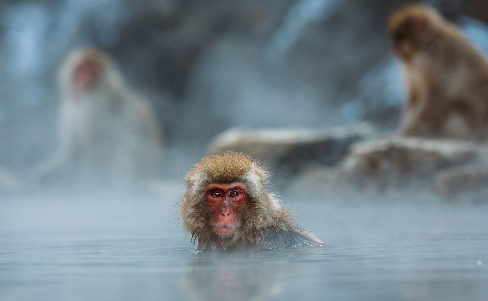 monkeys in the hot springs in Yamanouchi, Japan