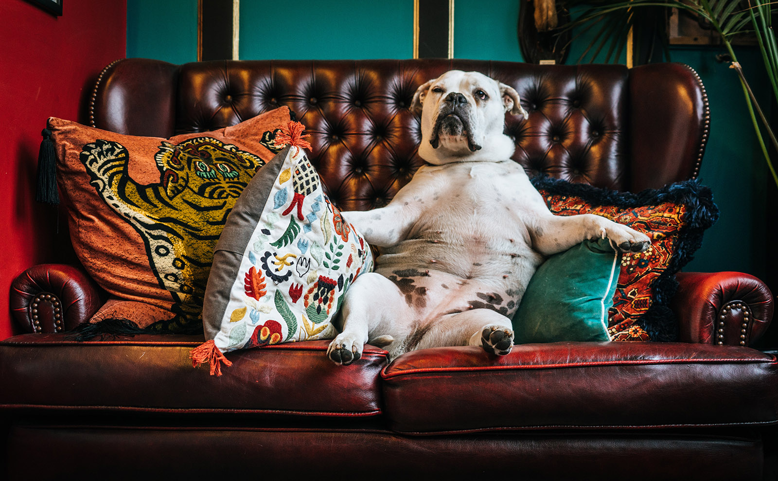 british bulldog sitting on a couch with throw pillows