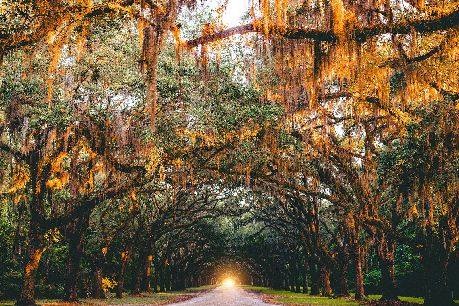trees at sunset draped with spanish moss