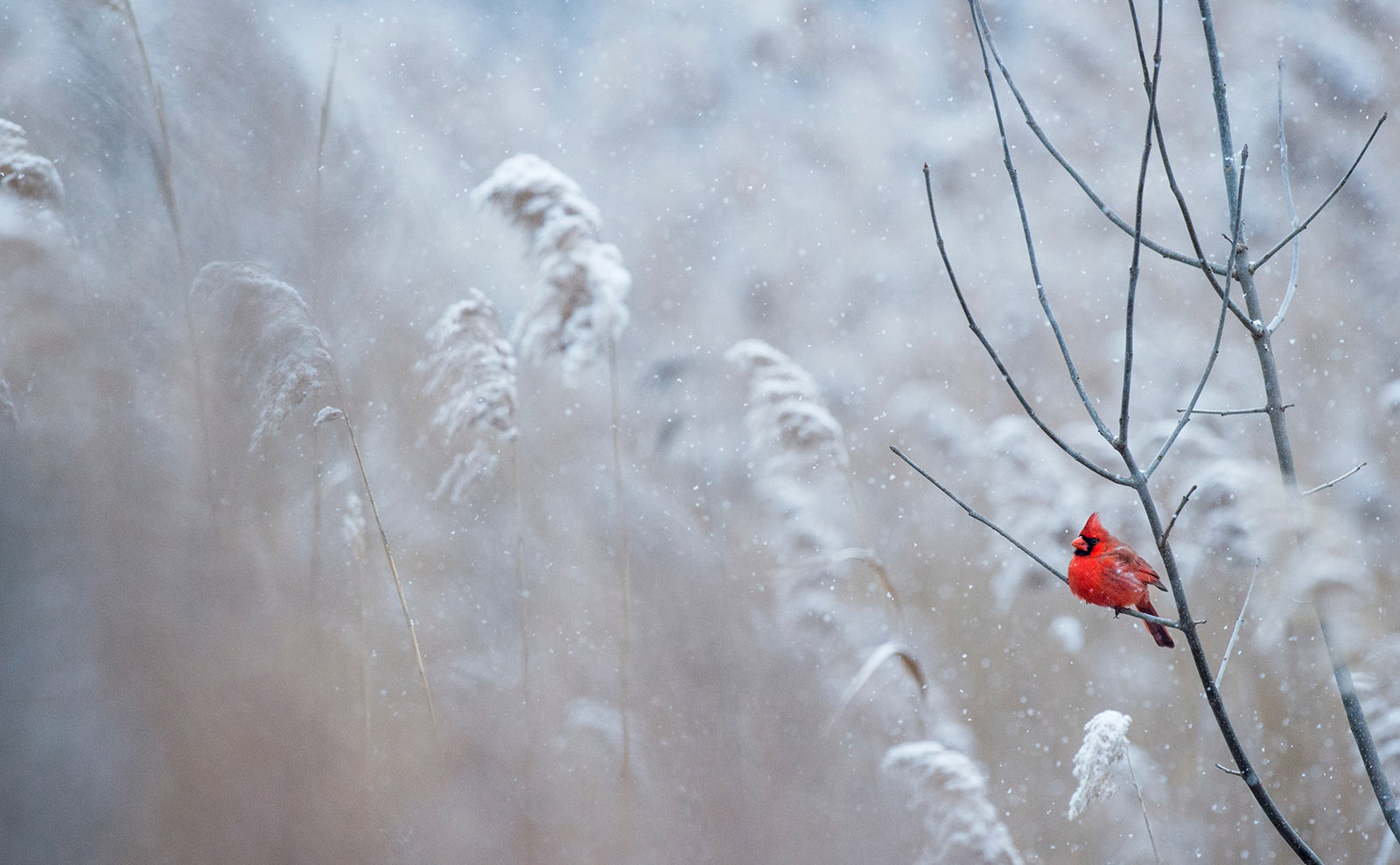 a red cardinal sitting a snowy branch