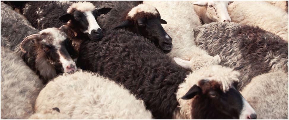 Von weißen, grauen und schwarzen Schafen