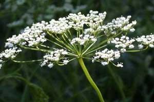 گل بادیان