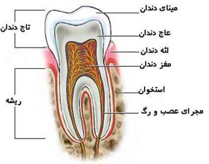قسمتهای مختلف دندان ها
