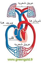 قلب و دوران خون در بدن انسان