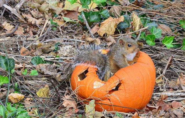 Squirrel in a pumpkin