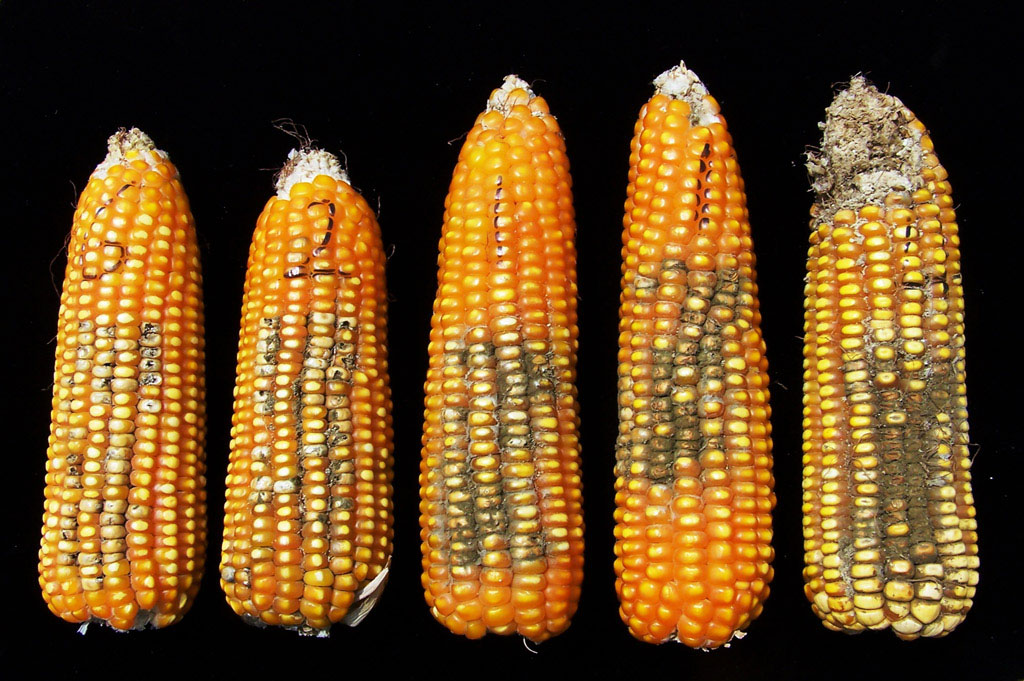 Deadly Fungus Affects 2012 Corn Crops