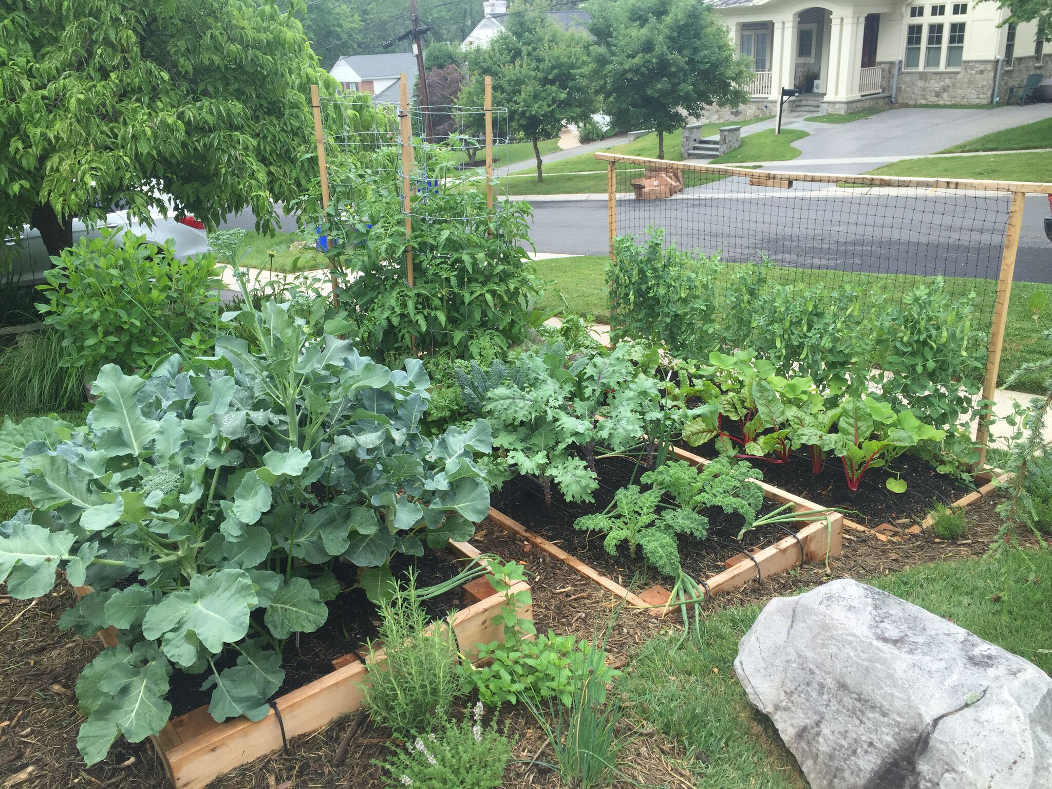 A terraced front yard vegetable garden