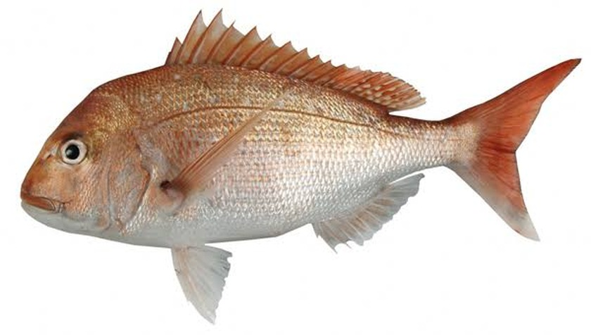 Fishery officers stop suspected illegal snapper sales - Thames