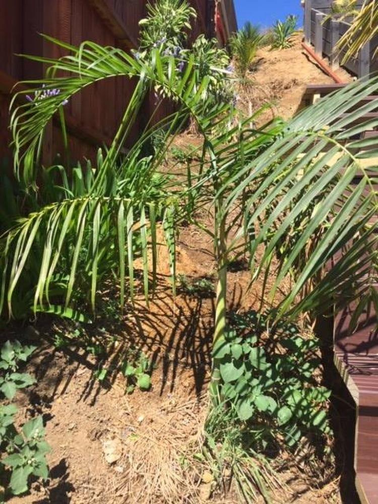 Palms stolen from Waihi Beach property