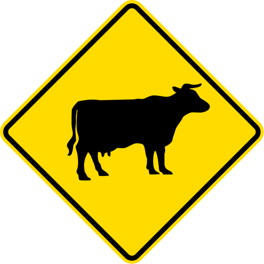 Cows and cars don't mix on SH2