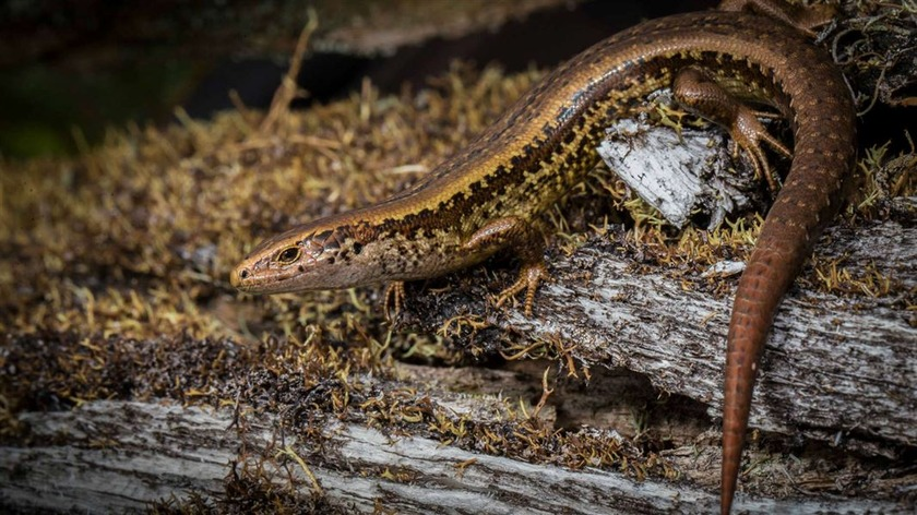 Appeal to find skink habitat vandals