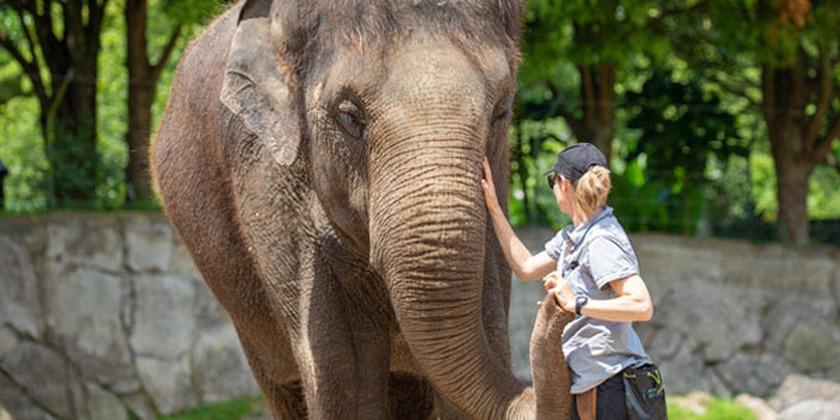 Auckland Zoo Announces Decision To Move Elephants