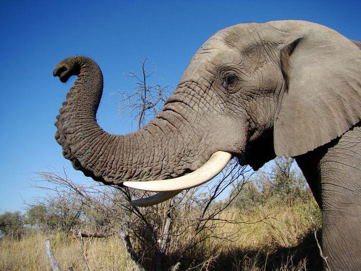 elephant profile head
