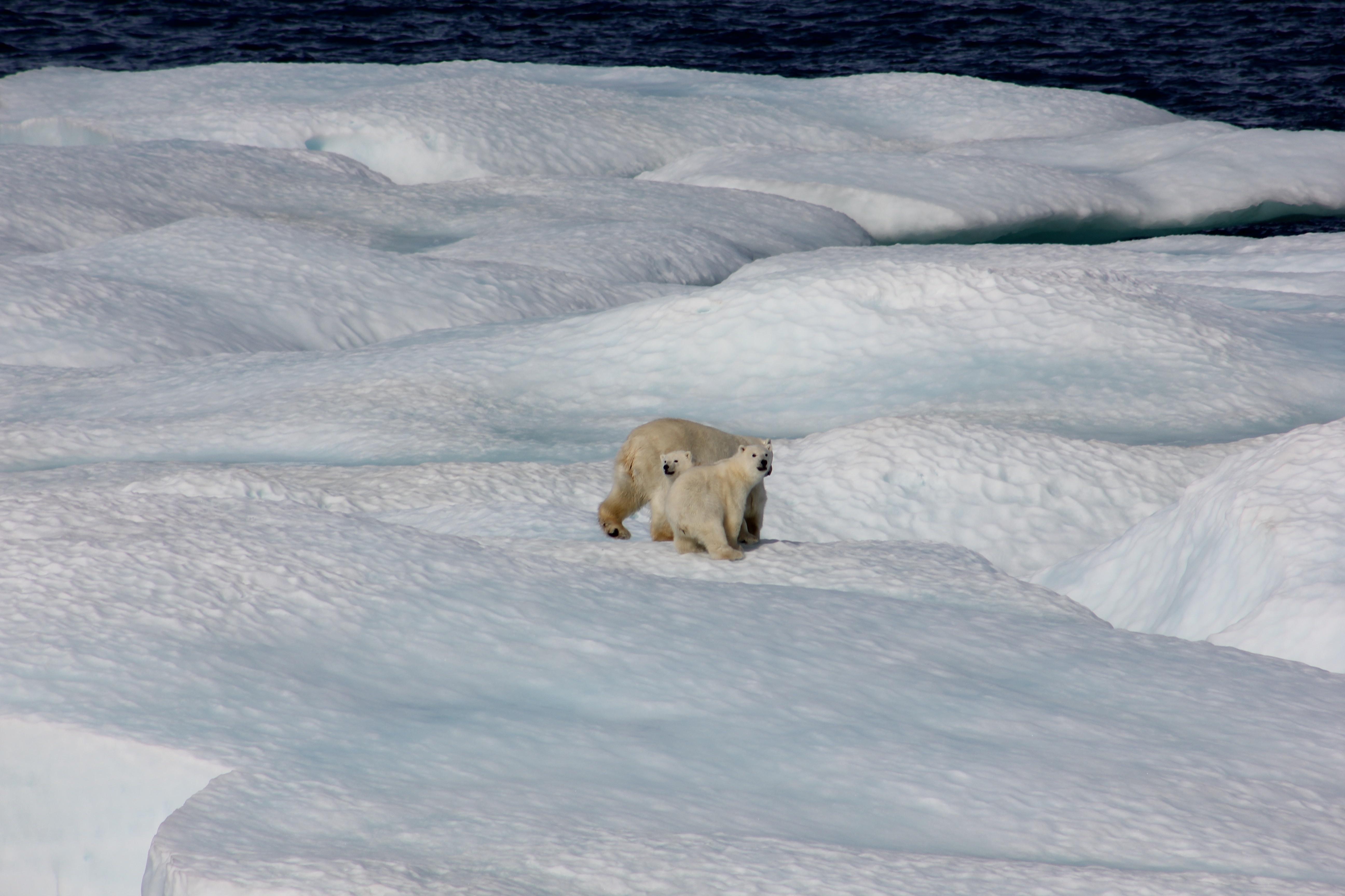Polar Bears on melting ice. Credit: NOAA